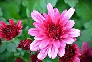 chrysanthemums-1614765_1280.jpg