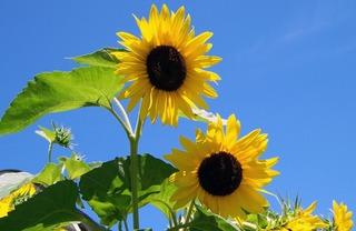sunflowers-17860_1920.jpg