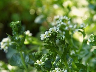 bavarian-spoon-herb-3352536__340.jpg