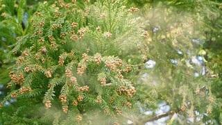 cedar-pollen.jpg