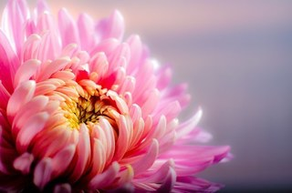 chrysanthemum-202483__340.jpg