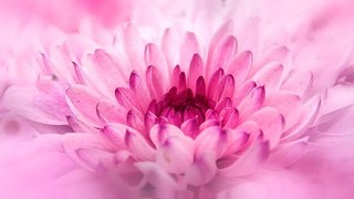 chrysanthemum-805712__340.jpg