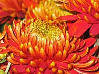chrysanthemums-1816829_640.jpg