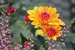 chrysanthemums-2793018_640.jpg