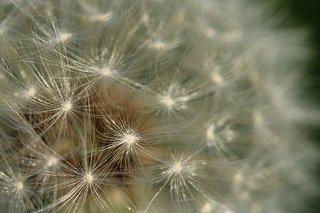 dandelion-5195315__340.jpg