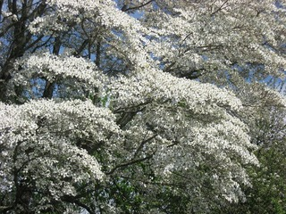 dogwood-boughs-353990_960_720.jpg