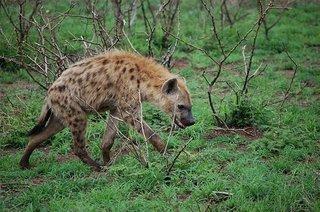 hyena-3971284__340.jpg