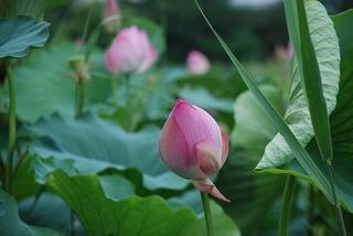 lotus-1516093_640.jpg