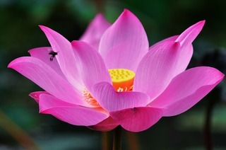 lotus-1688896_640.jpg