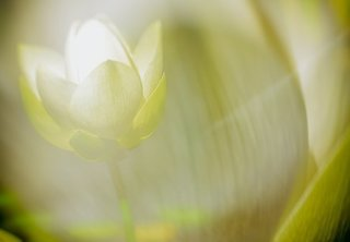 lotus-blossom-3588694__340.jpg