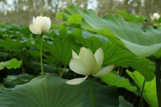 lotus-leaf-2848105_960_720.jpg