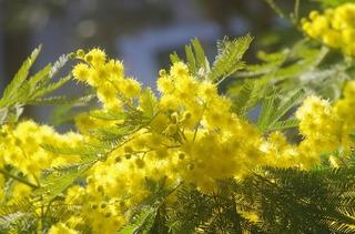 mimosa-3244778_960_720.jpg