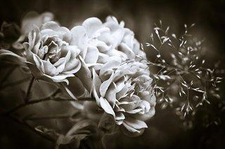 roses-1750795__340.jpg