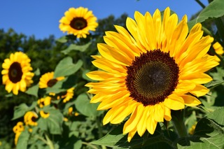 sunflower-1627193_1920.jpg