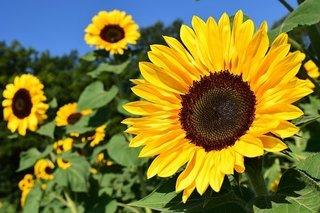 sunflower-1627193__340.jpg