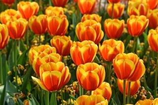 tulip-3358577_1280.jpg