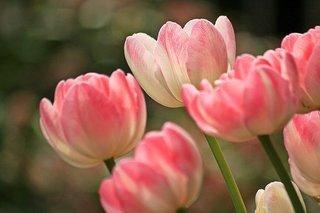 tulips-1134103__340.jpg