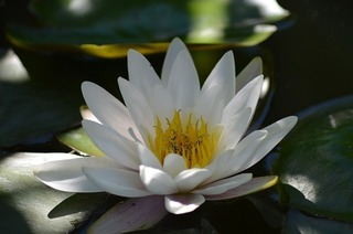 water-lily-140727_640.jpg