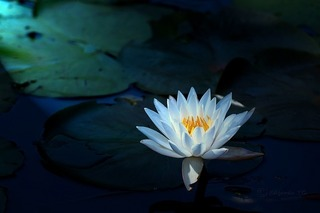 water-lily-2253268_640.jpg