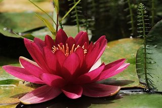 water-lily-3478924__340.jpg