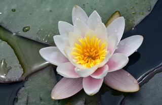 water-lily-3519543_1280.jpg