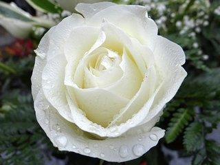 white-rose-2907862__340.jpg