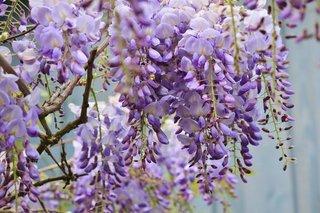 wisteria-772957_960_720.jpg
