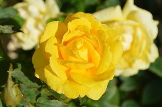 yellow-rose-196393_960_720.jpg
